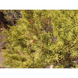 Juniperus phoenicea ssp....