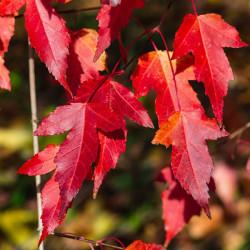 Acer tataricum subsp.ginnala